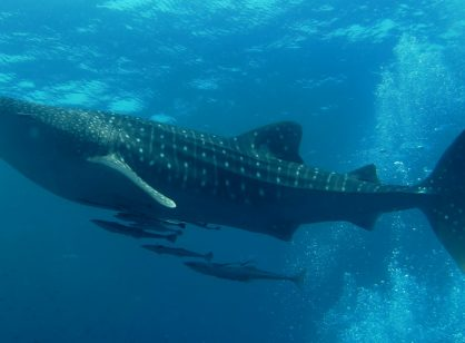 Happy International Whale Shark Day