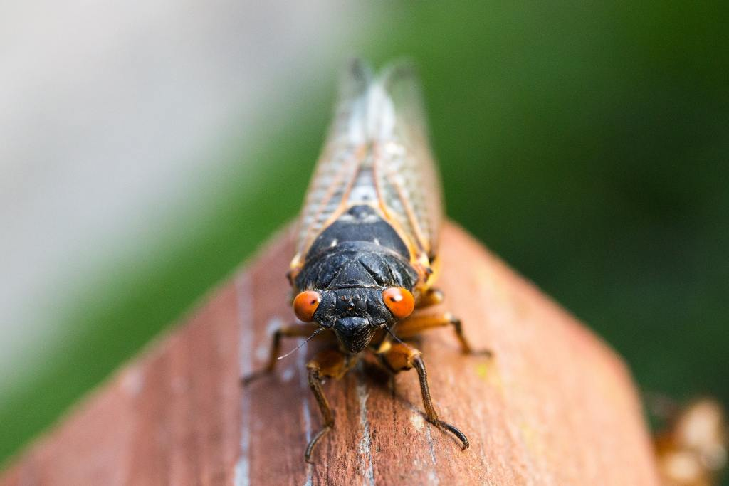 Cicada Fun Facts!